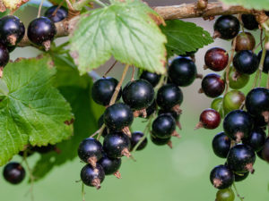 RIBES NERO: L'ALTERNATIVA AL CORTISONE